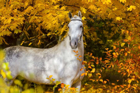 White horse against autumn yellow trees Banque d'images