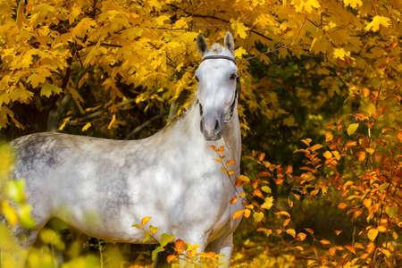 White horse against autumn yellow trees Stockfoto