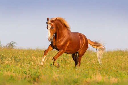 mane: Red horse with long mane run on pasture Stock Photo
