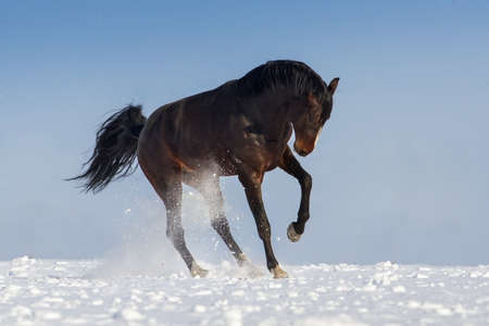 horse in snow: Funny horse jump on snow field against blue sky