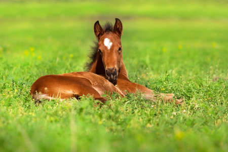Foal rest on spring grass