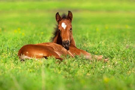 Veulen rust op de lente gras Stockfoto