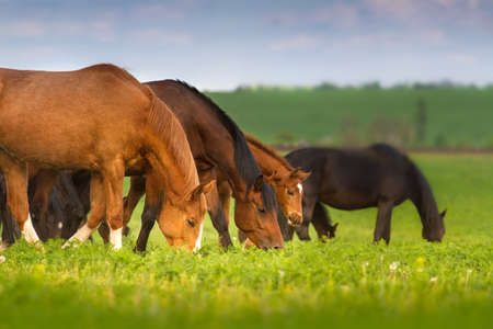 pastures: Horses grazing on spring pasture