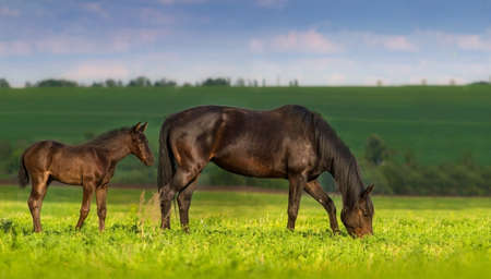 Mare with little cute foal on pasture Stock Photo