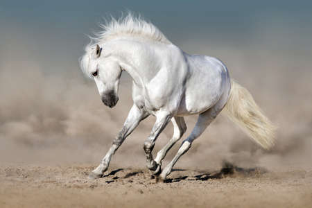 White stallion run in desert against blue sky Stock Photo