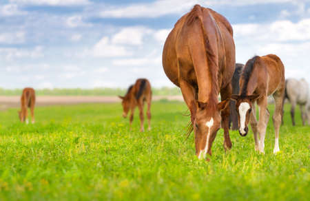 Mare and foal grazing in spring pasture Stock Photo