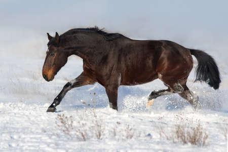 Black horse trotting on a snowy field