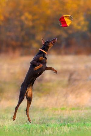 Doberman play and jump in autumn park