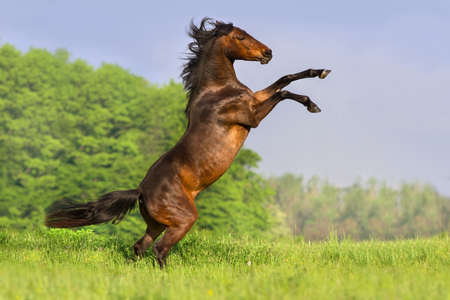 Bay horse with long mane rearing up in spring field