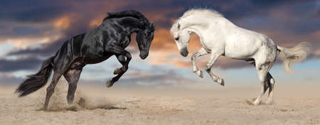 Two beautiful horse portrait in motion. Black and white horses.