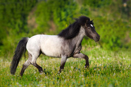 Beautiful gray pony with long mane run gallop Banque d'images