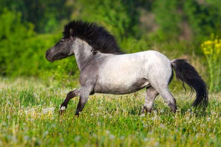 Beautiful gray pony with long mane run gallop Stock Photo