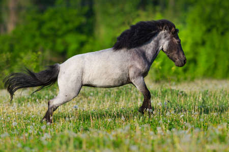 Beautiful gray pony with long mane run gallop Stock Photo
