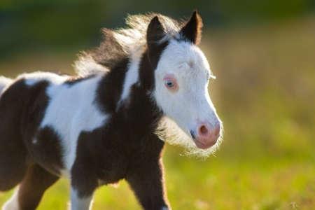 Beautiful piebald pony foal close up portrait