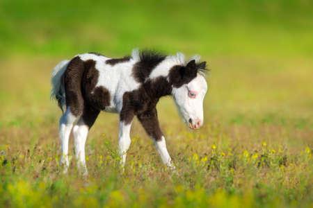 Beautiful piebald pony foal in green pasture