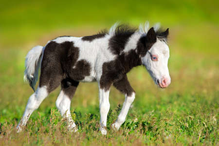 Beautiful piebald pony foal run fast in green pasture Stock Photo
