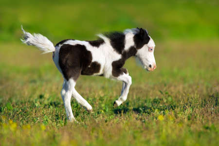 Beautiful piebald pony foal run fast in green pasture Imagens - 99556661