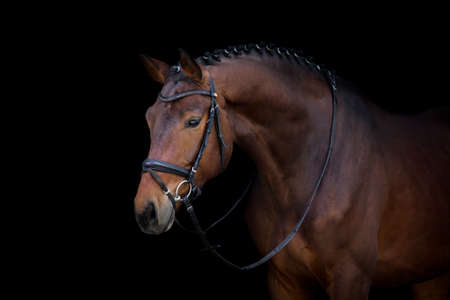 Bay horse in bridle portrait on black background