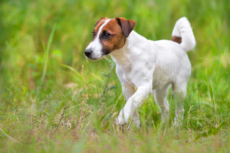 Jack russel terrier close up portrait in grass Stock Photo