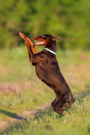 Brown doberman do trick outdoor