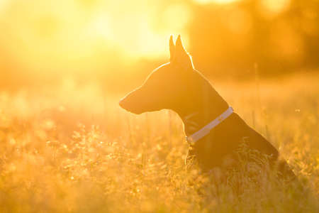 Beautiful doberman portrait silhouette in sunlight Stock Photo