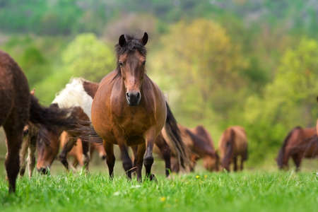 Pregnant mare in herd walk on green pasture