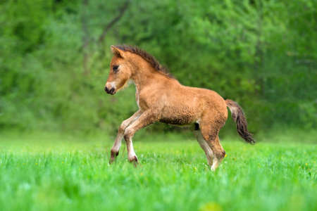 Beautiful bay foal run and pay in pasture