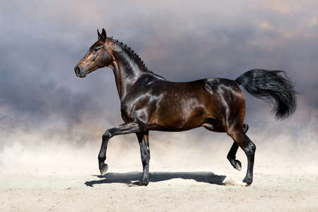 Beautiful horse trotting in sandy field Stock Photo