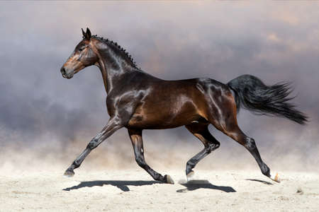 Prachtig paard in het zandige veld Stockfoto - 83950207
