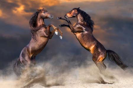 Twee paarden spelen en fokken in de woestijn Stockfoto