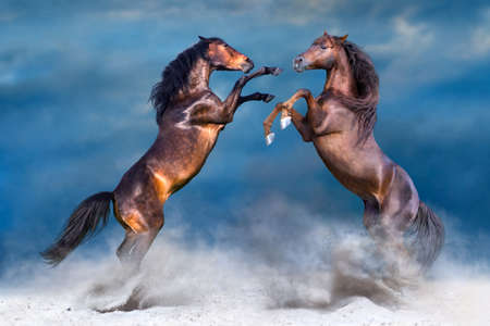 Two horse play and rearing up in desert dast