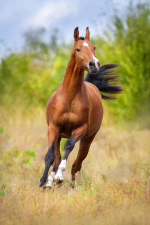 Bay arabian horse run fast outdoor Stock Photo