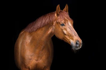 Rood paardportret op zwarte achtergrond
