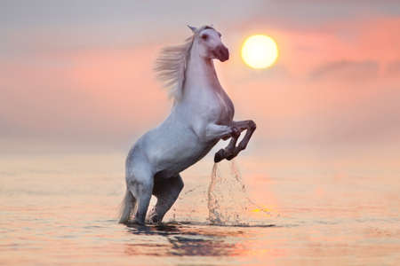 White horse with long mane rearing up in water at sunrise