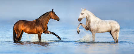 Two beautiful horses standing in blue water. Panorama for website