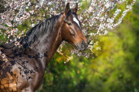 Bay horse portrait in spring apricot blossom