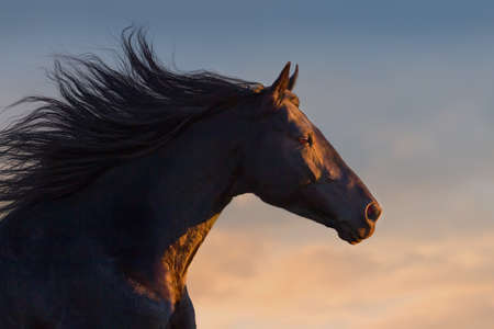 Black horse portrait in motion with long mane at sunset light Фото со стока