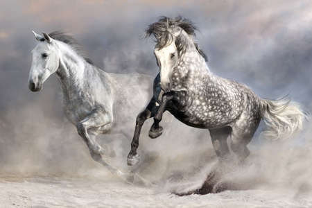 Two white andalusian horses run in the desert dust
