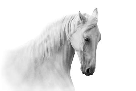 White horse close up in motion portrait on white background Foto de archivo