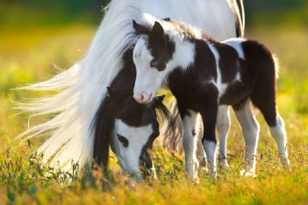 Shetland pony with foal grazing on spring green pasture