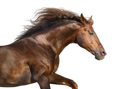 Red stallion with long mane close up portrait isolated on white