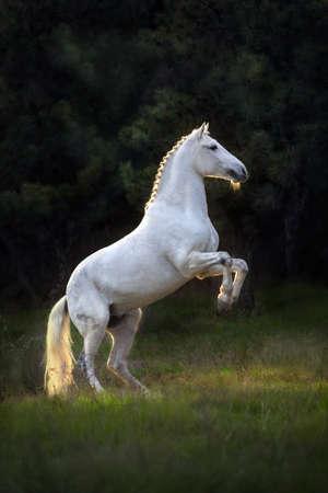 White horse rearing at sunset light Stockfoto