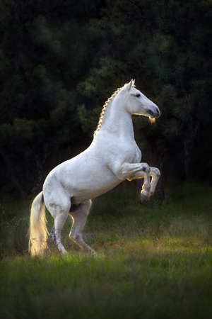 White horse rearing at sunset light Imagens