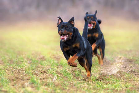 Rottweiler play in autumn park Stock Photo