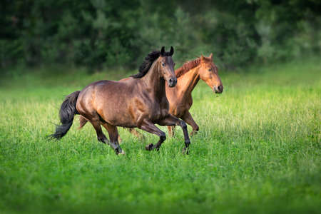 Horses free run in green meadow