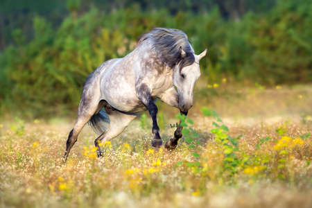 Arabian horse run gallop in flowers meadow