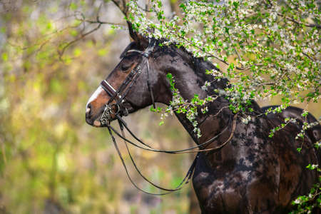 Bay stallion in bridle in spring blossom tree