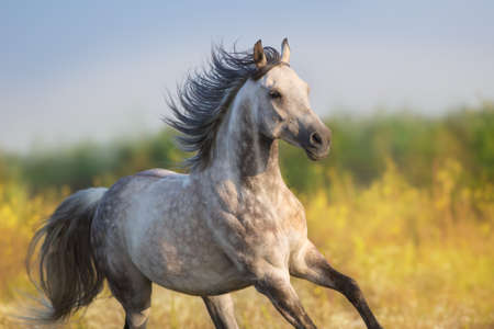 Horse run gellop  in meadow free Stock Photo