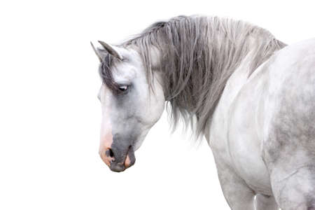 Grey andalusian horse with long mane close up portrait on white background. High key image Фото со стока