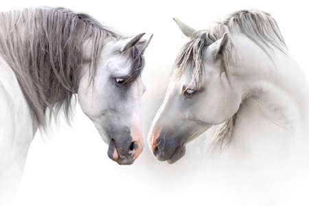 Two grey horse couple portrait on white. High key image Фото со стока